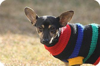 Chihuahua Mix Dog for adoption in Albany, Georgia - Mr. Jingles