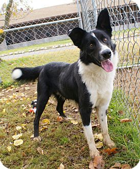 Border Collie Mix Dog for adoption in Yuba City, California - 11/17 Trey