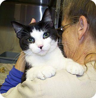 European Burmese Cat for adoption in Dover, Ohio - Chip