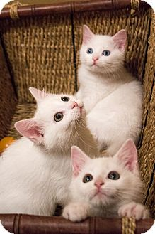 Domestic Shorthair Kitten for adoption in Chicago, Illinois - Alfalfa, Froggy and Buckwheat