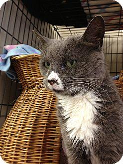 Domestic Shorthair Cat for adoption in Maple Ridge, British Columbia - Aster