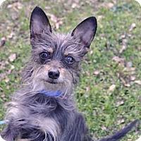 Adopt A Pet :: Sweety 6 pounds - Sacramento, CA