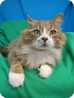 Maine Coon Cat for adoption in East Hanover, New Jersey - Tommy
