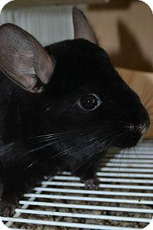Chinchilla for adoption in Lindenhurst, New York - Olive