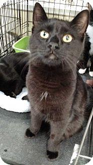 Domestic Shorthair Cat for adoption in Warren, Michigan - Rousseau