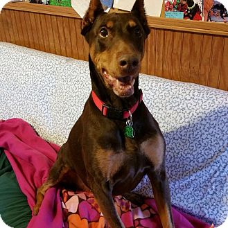Doberman Pinscher Dog for adoption in New Richmond, Ohio - Diamond