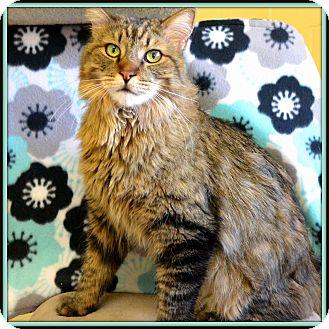 Maine Coon Cat for adoption in Glendale, Arizona - Fuzz