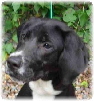 Labrador Retriever/Spaniel (Unknown Type) Mix Dog for adoption in Wyoming, Minnesota - Oreo