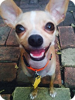 Chihuahua Mix Dog for adoption in Van Alstyne, Texas - Manny