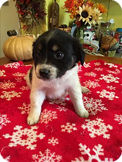 Labrador Retriever/Jack Russell Terrier Mix Puppy for adoption in Kittery, Maine - Sophia