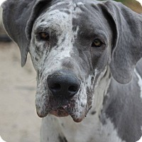 Great Dane Dog for adoption in Raleigh, North Carolina - Warren
