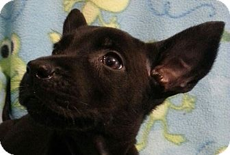Labrador Retriever Mix Puppy for adoption in Pompton Lakes, New Jersey - Pacific