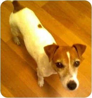 Jack Russell Terrier Dog for adoption in Louisville, Kentucky - Rocky: Adopted!