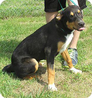 Hound (Unknown Type)/Blue Heeler Mix Dog for adoption in Reeds Spring, Missouri - Titan