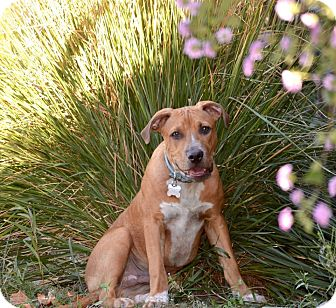 American Pit Bull Terrier Mix Puppy for adoption in Lincoln, California - PUPPY - Cooper!!