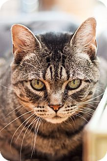 Domestic Shorthair Cat for adoption in Brimfield, Massachusetts - Winter