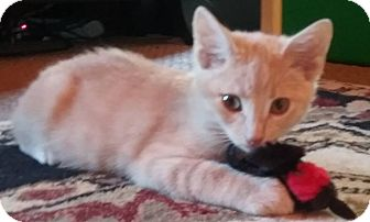 Domestic Shorthair Kitten for adoption in Evans, West Virginia - Ian