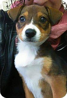 Beagle Mix Puppy for adoption in pasadena, California - BELLA