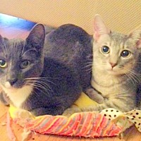 Domestic Shorthair Kitten for adoption in San Leandro, California - Simone