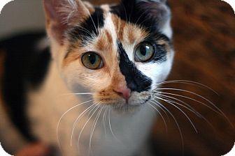 Calico Kitten for adoption in Canoga Park, California - Clementine