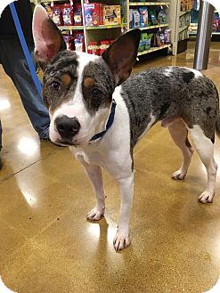 Catahoula Leopard Dog Mix Dog for adoption in Sugar Grove, Illinois - Chester