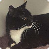 Adopt A Pet :: Cornell-a reserved gentleman - Manchester, NH