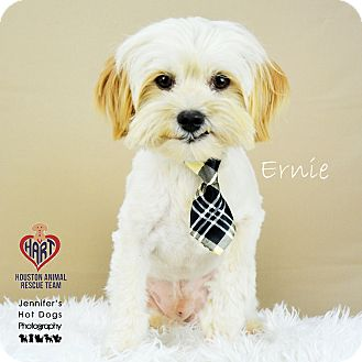 Maltese Mix Dog for adoption in Tomball, Texas - Ernie