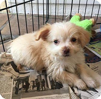 Pomeranian/Pekingese Mix Puppy for adoption in Manhattan Beach, California - Dink