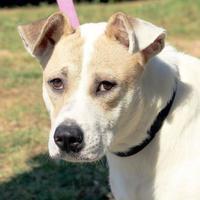Adopt A Pet :: Brownie - Enterprise, AL