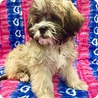Adopt A Pet :: Puppy Paisley - Encino, CA