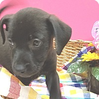 Adopt A Pet :: Anise - Decatur, AL