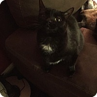 Domestic Shorthair Cat for adoption in Baltimore, Maryland - Pixel (COURTESY POST)