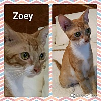 Adopt A Pet :: Zoey - Arlington/Ft Worth, TX