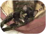 Domestic Shorthair Cat for adoption in Beacon, New York - Kirby