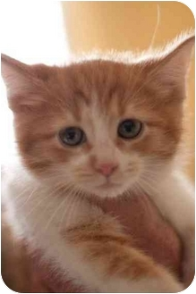 Domestic Mediumhair Kitten for adoption in Farmington, Michigan - Bitty Baby Girls