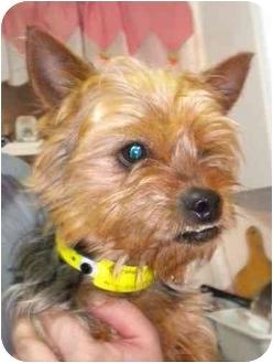 Yorkie, Yorkshire Terrier Dog for adoption in Hammonton, New Jersey - Gizmo