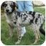 Photo 3 - Australian Shepherd Mix Puppy for adoption in North Judson, Indiana - Fox