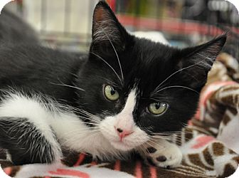 Domestic Shorthair Kitten for adoption in Great Falls, Montana - Alex