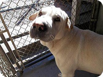 Shar Pei Mix Dog for adoption in Henderson, North Carolina - Bo