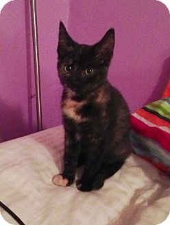 Domestic Shorthair Kitten for adoption in East Hanover, New Jersey - Laverne