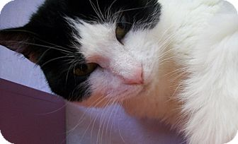 Domestic Shorthair Cat for adoption in Grants Pass, Oregon - Ann
