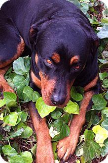 Rottweiler Dog for adoption in Gilbert, Arizona - Paris
