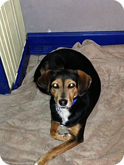 Shepherd (Unknown Type)/Beagle Mix Dog for adoption in Buffalo, New York - Bessie: Prison Trained