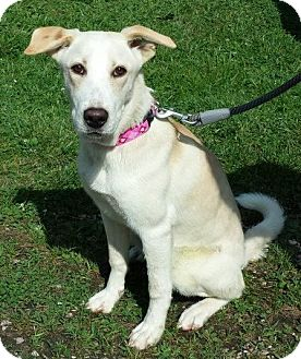 Labrador Retriever/Shepherd (Unknown Type) Mix Dog for adoption in New Oxford, Pennsylvania - Milk Dud