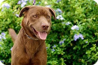 Chesapeake Bay Retriever/Labrador Retriever Mix Dog for adoption in Houston, Texas - Buddy
