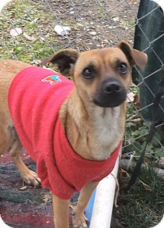 Chihuahua/Terrier (Unknown Type, Small) Mix Dog for adoption in Middletown, New York - Wendy