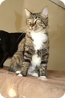 American Shorthair Cat for adoption in Englewood, Florida - Chanel
