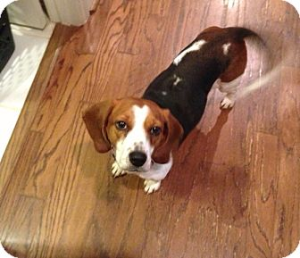 Beagle Dog for adoption in Knoxville, Tennessee - Dixie