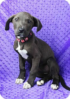 Weimaraner/Pit Bull Terrier Mix Puppy for adoption in Westminster, Colorado - Faye