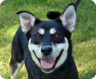 Husky/Shepherd (Unknown Type) Mix Dog for adoption in Searcy, Arkansas - TuTu